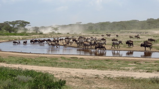 Ndutu, Great Migration, Tansania