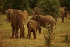 Elefanten, Kenia