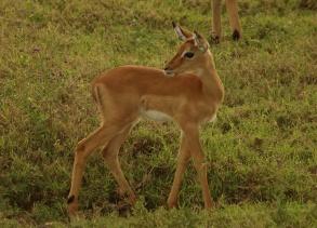 Impala-Kind