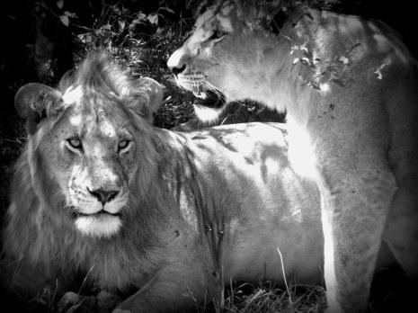 Simba, Kenia