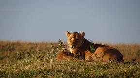 sieht Du zwei Löwen?