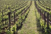 Frascati Wein