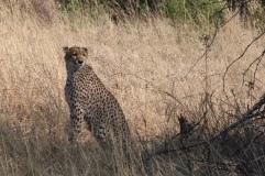 hungriger Gepard