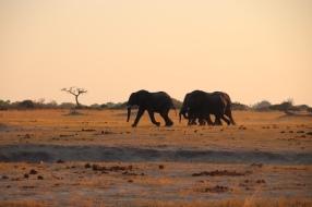 Elefanten im Endspurt zum Wasserloch