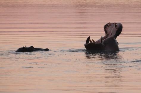 Sunset Hippo Action