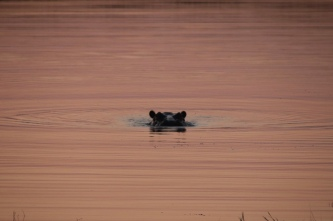 Sunset Hippo Action