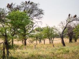 Serengeti/Lobo