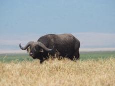 Büffel - nyati