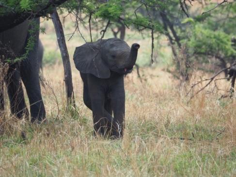 Elefant - tembo