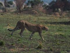 Gepard - duma