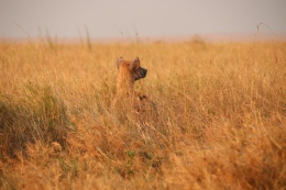 Hyäne - fisi