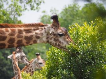 Girafffen -twiga
