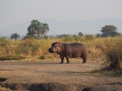 Hippo - kiboko