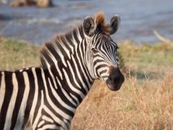 Zebra - pundamilia